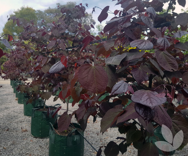 Cercis Canadensis Forest Pansy Trees Speciality Trees