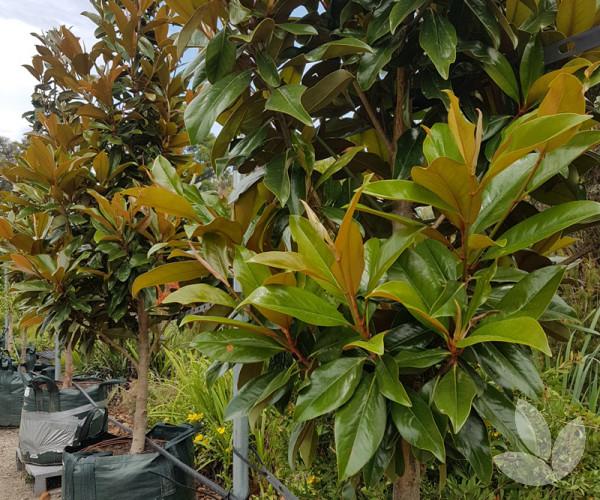Magnolia Grandiflora Sweet Carolina Trees Speciality Trees