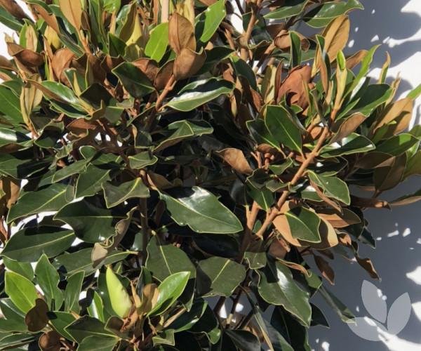 Magnolia Grandiflora Sweet Spire Trees Speciality Trees