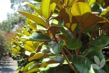 Magnolia Grandiflora Teddy Bear Trees Speciality Trees