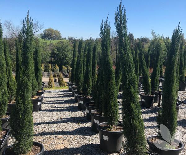 Cupressus Sempervirens Glauca Italian Pencil Pine Trees Speciality Trees