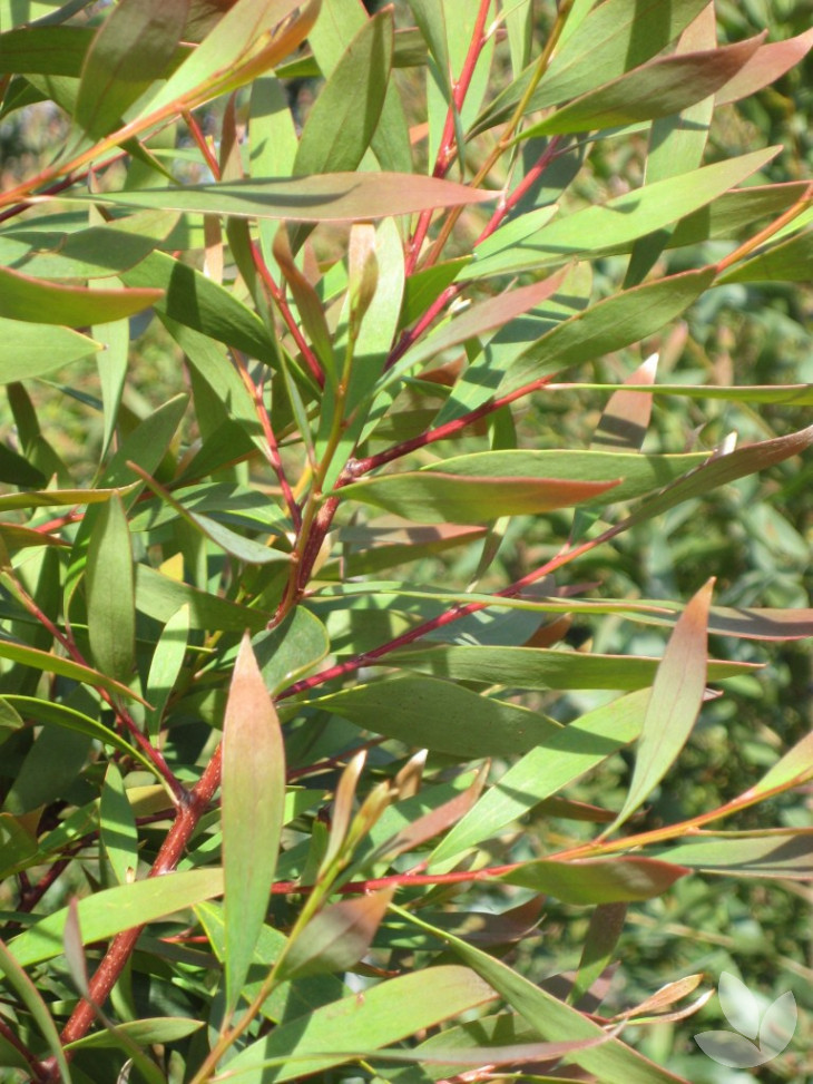 Advanced Trees - A focus on Hakea – Collections - Speciality