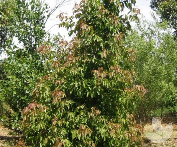 Acer Negundo Sensation Trees Speciality Trees