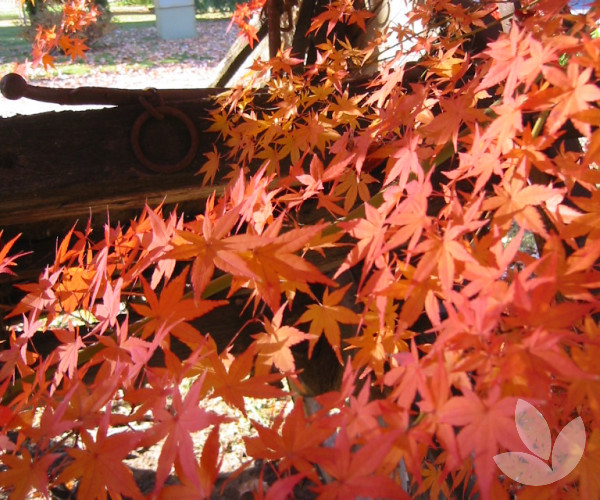 Acer Palmatum Japanese Maple Trees Speciality Trees