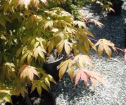 Acer Palmatum Japanese Maple Trees Speciality Trees