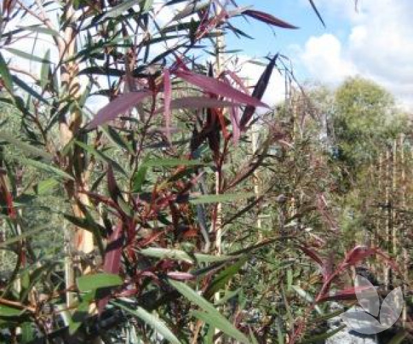 Agonis Flexuosa Burgundy Burgundy Willow Myrtle Trees
