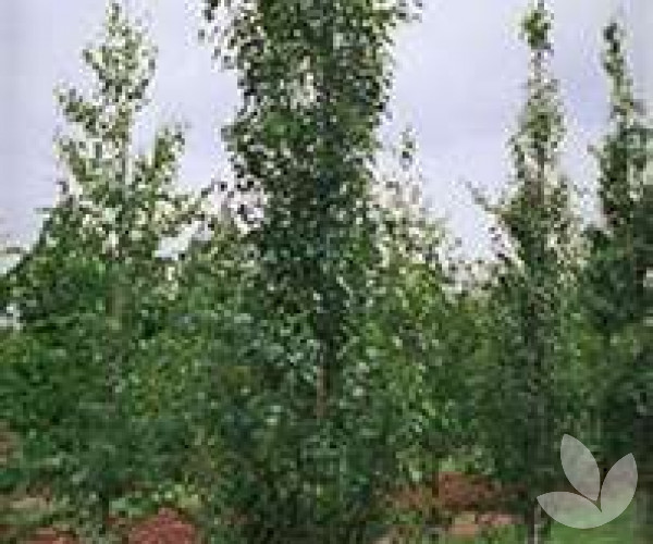 betula pendula fastigiata upright silver birch trees speciality trees. Black Bedroom Furniture Sets. Home Design Ideas