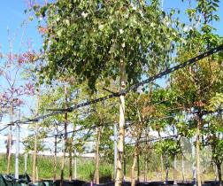 Acer palmatum 'Dissectum Viridis (weeping standard)' – Trees