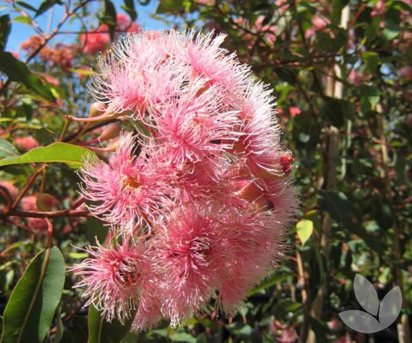 Corymbia Ficifolia Fairy Floss Trees Speciality Trees