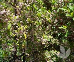 Elaeocarpus Reticulatus Blueberry Ash Trees Speciality Trees