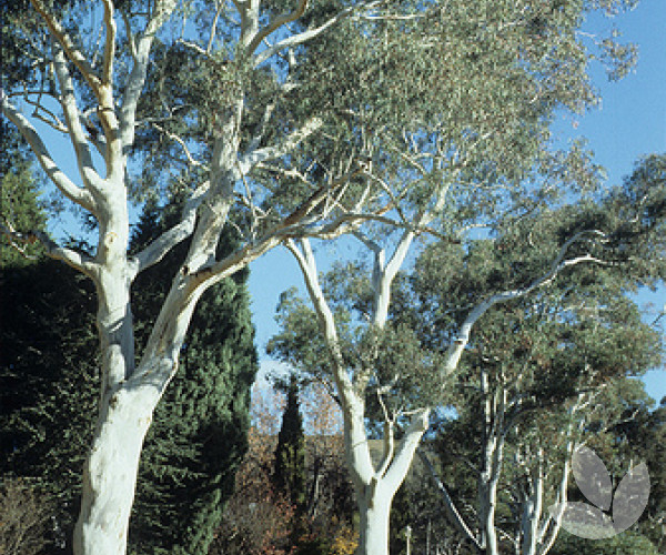 Eucalyptus Mannifera Brittle Gum Trees Speciality Trees