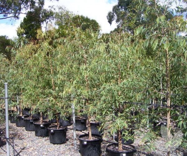 Eucalyptus Radiata Narrow Leaved Peppermint Gum Trees Speciality Trees