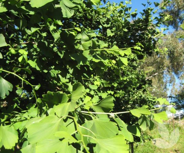Ginkgo Biloba Maidenhair Tree Trees Speciality Trees