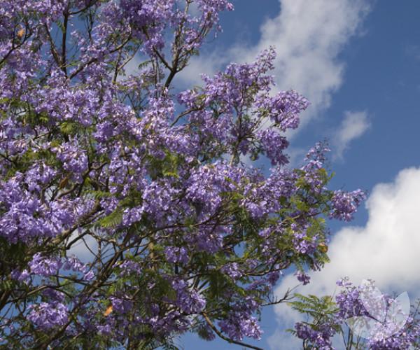 Jacaranda Mimosifolia Jacaranda Trees Speciality Trees