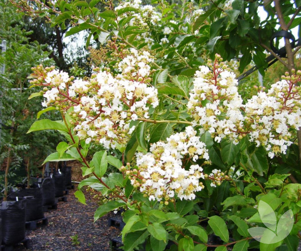 Lagerstroemia Indica X Fauriei Natchez White Crepe Myrtle