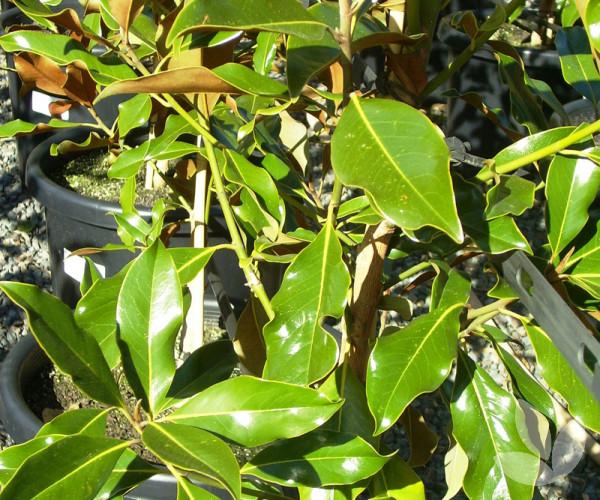 Magnolia Grandiflora Exmouth Bull Bay Magnolia Trees