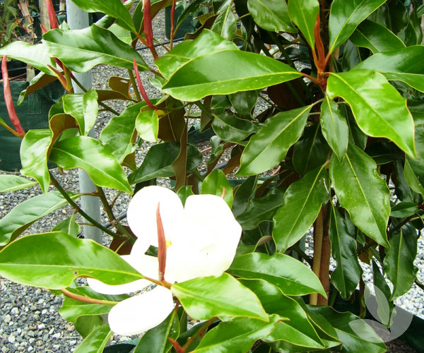 Magnolia Grandiflora Kay Parris Trees Speciality Trees