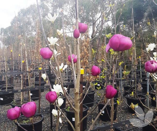 Magnolia X Soulangeana Black Tulip Trees Speciality Trees