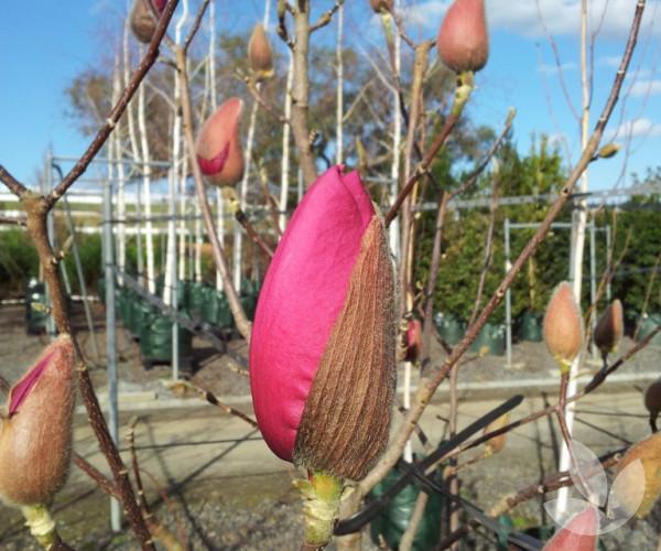 Magnolia X Soulangeana Vulcan Trees Speciality Trees