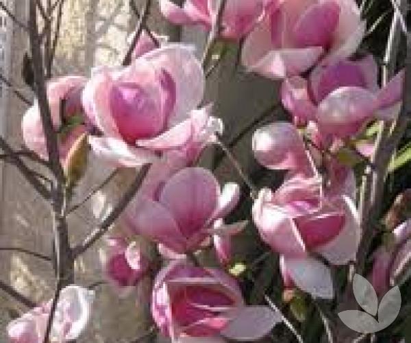 Magnolia X Soulangeana Saucer Magnolia Tulip Magnolia Trees