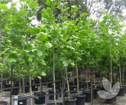 Acer Campestre Common Or Field Maple Trees Speciality Trees