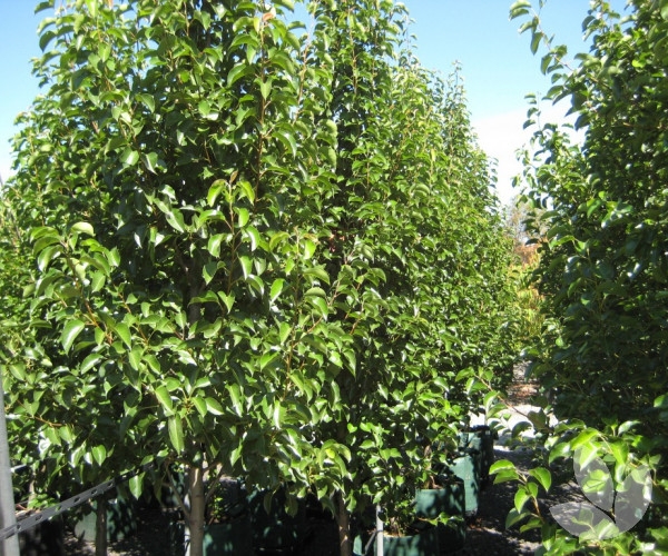 Pyrus Calleryana Cleveland Select Ornamental Pear Trees