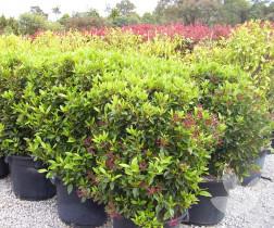 Luma apiculata - Trees - Speciality Trees