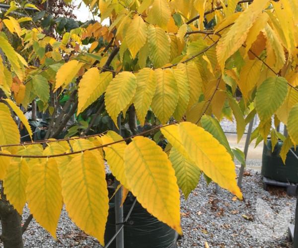 Zelkova Serrata Green Vase Trees Speciality Trees
