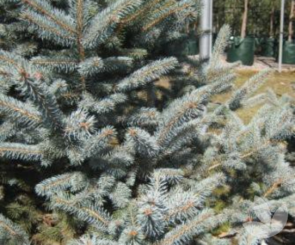 Picea pungens 'Fat Albert' - Colorado Blue Spruce – Trees