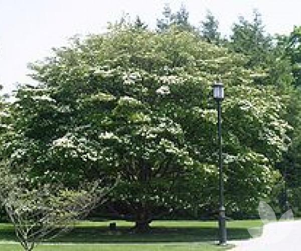 cornus kousa chinensis dogwood trees speciality trees. Black Bedroom Furniture Sets. Home Design Ideas
