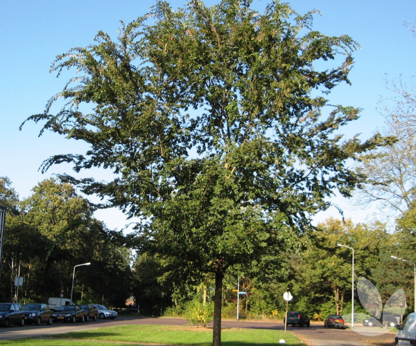 Ulmus Parvifolia Chinese Elm Trees Speciality Trees