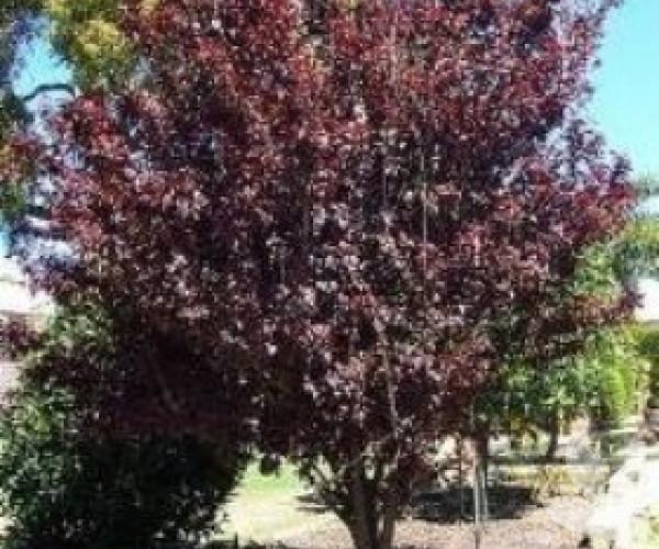 Prunus X Blireana Purple Leafed Plum Trees Speciality Trees