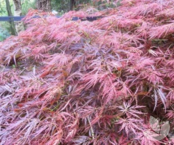 Acer Palmatum Dissectum Atropurpureum Weeping Standard Trees