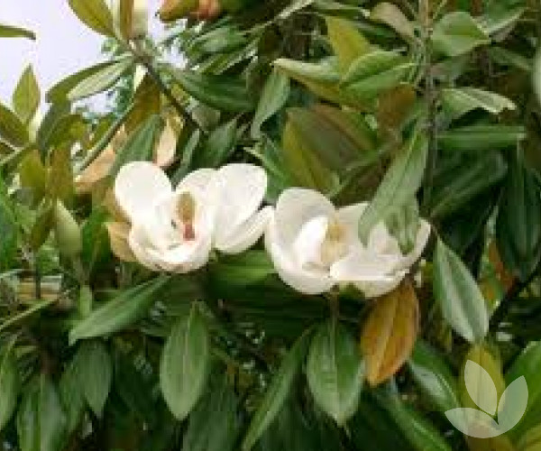 Magnolia Grandiflora Bull Bay Magnolia Trees Speciality Trees