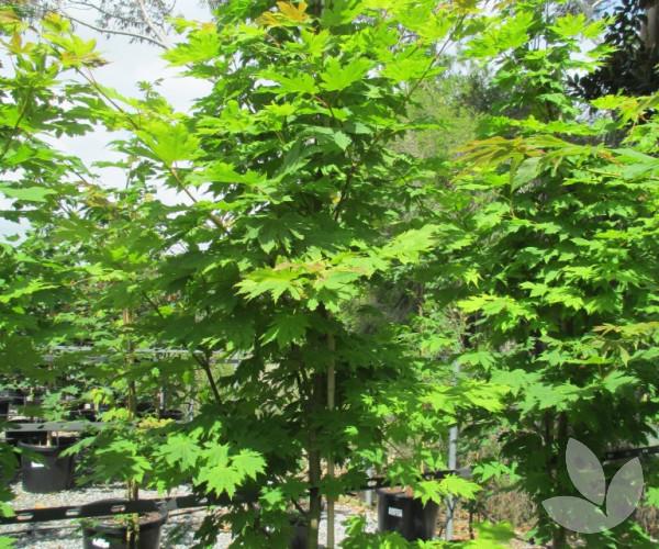 Acer Japonicum Vitifolium Trees Speciality Trees