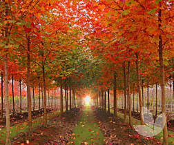 Acer Rubrum Autumn Red Canadian Maple Trees
