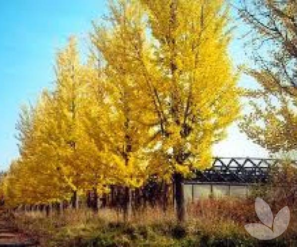 Ginkgo Biloba Princeton Sentry Trees Speciality Trees