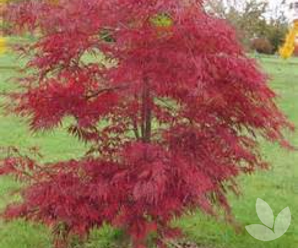 Acer Palmatum Dissectum Inaba Shidare Weeping Standard Trees