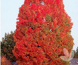 Acer Rubrum Autumn Red Canadian Maple Trees Speciality Trees