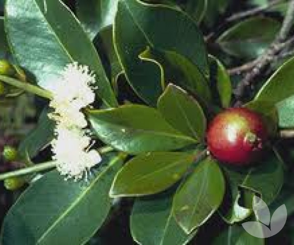 Psidium cattleianum - Strawberry Guava – Trees - Speciality