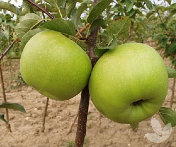 Granny smith apple tree mature size