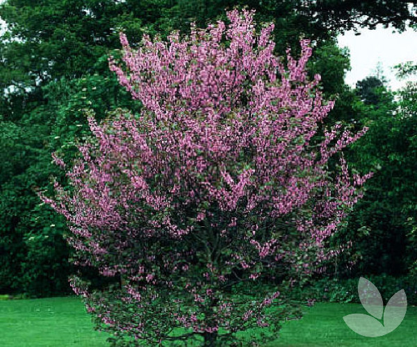 Cercis siliquastrum the judas tree trees speciality trees this is an attractive small deciduous tree with rounded heart shaped leaves in spring clusters of pea like flowers appear along the branches and trunk mightylinksfo