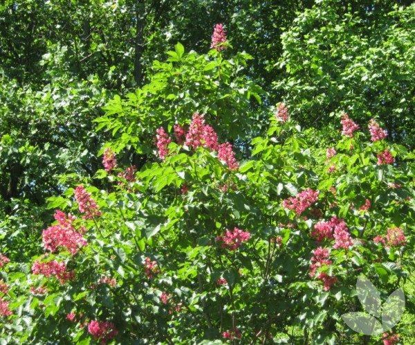 Aesculus x carnea pink flowering horse chestnut trees aesculus x carnea pink flowering horse chestnut trees speciality trees mightylinksfo