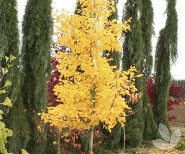 Ginkgo Biloba Saratoga Maidenhair Tree Trees Speciality Trees