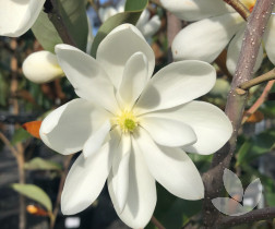 Magnolia Denudata Yulan Magnolia Trees Speciality Trees