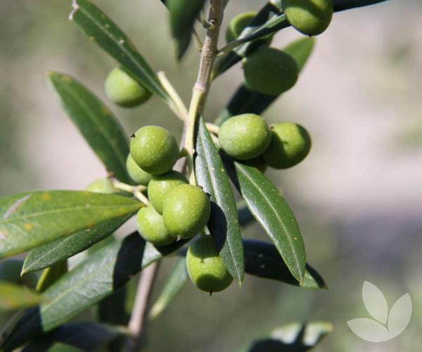 Olea Europaea Garden Harvest Dwarf Olive Tree Trees