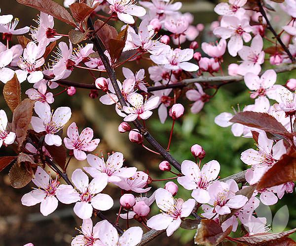 Prunus Cerasifera Nigra Black Cherry Plum Trees Speciality
