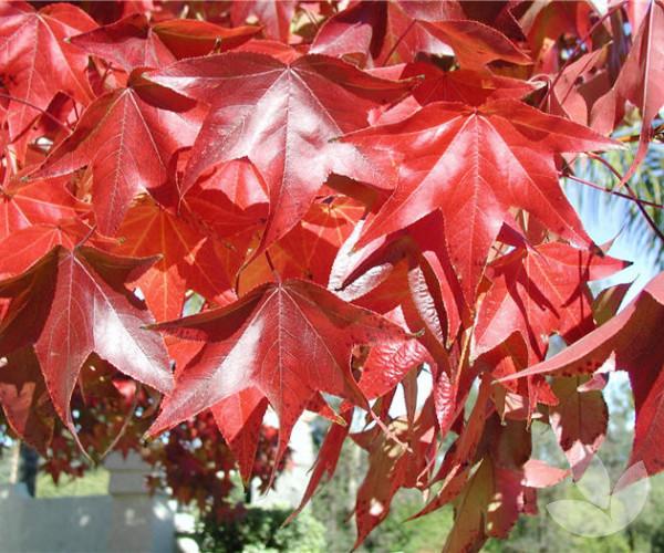 Liquidambar Styraciflua Burgundy Trees Speciality Trees