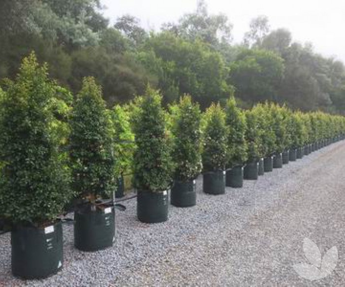 Selections For Skinny Hedges Collections Speciality Trees