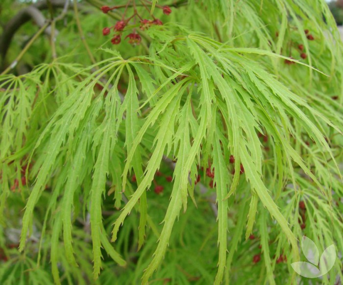Weeping Japanese Maples Collections Speciality Trees